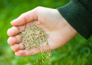 Seed the lawn