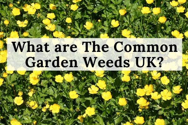 What are The Common Garden Weeds UK?